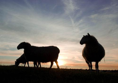 Sheepsilhouettedaybreakjpg