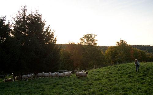 Shepherdflock