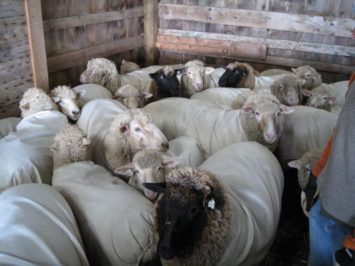 Sheepinholdingpe n