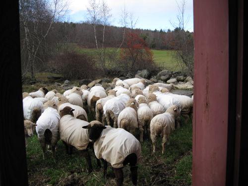 Sheepoutbckdoor