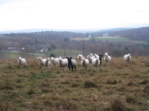 Hilltop herd late fall