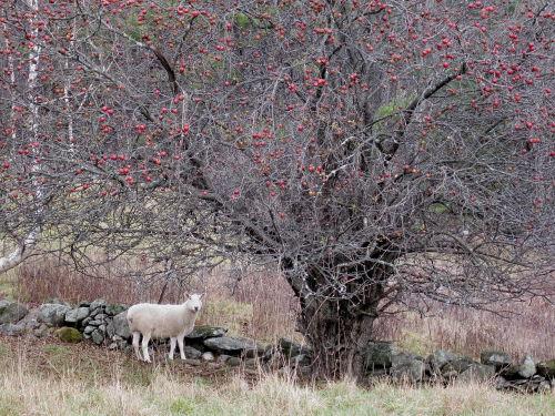 Ewe, apple tree