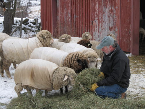Mike feeding sheep