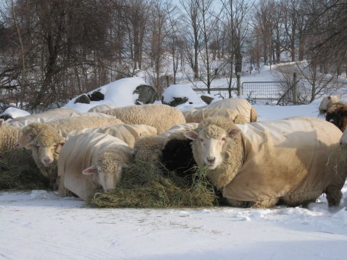 Cormo winter feeding on snow
