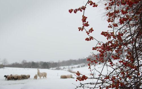 Winter flock bittersweet vine, llama