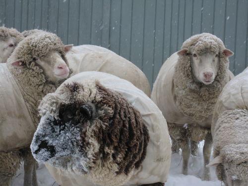 Snowy cormo boys