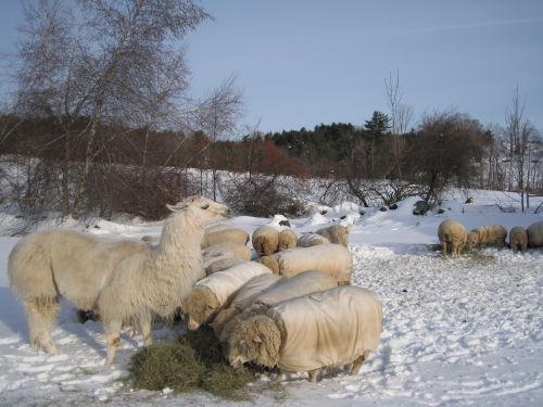 Caitlyn & flock at winter feeding