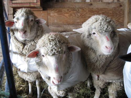 Open face sheep