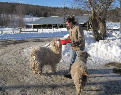 Holly walking goats