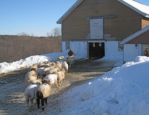 Sheep following barb into big barn