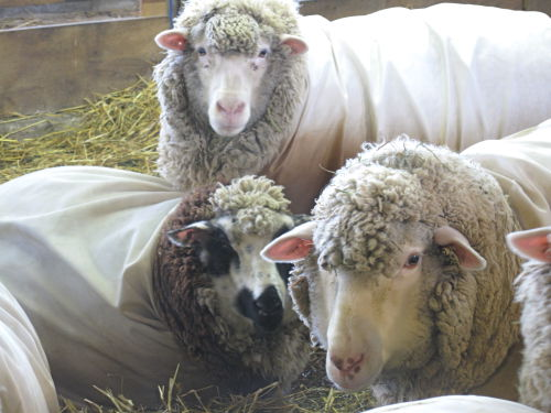 Bred ewes