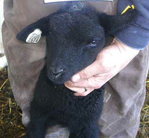 W906 chocolate ewe splash white half sister to brown ram-F
