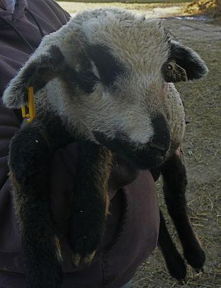 W919-ram-Tumbleweed-crop-1