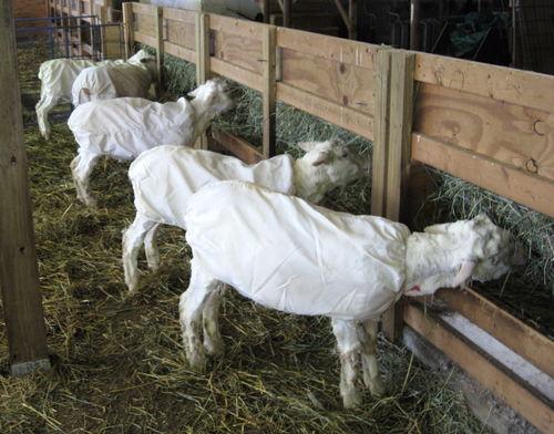 Post shearing