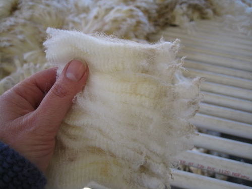 Closeup lambswool staple