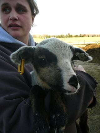 Cvm-941-badger ewe-crop-march 09