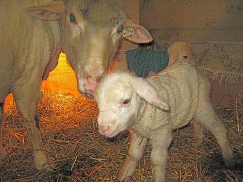 Verbena's ewe lamb