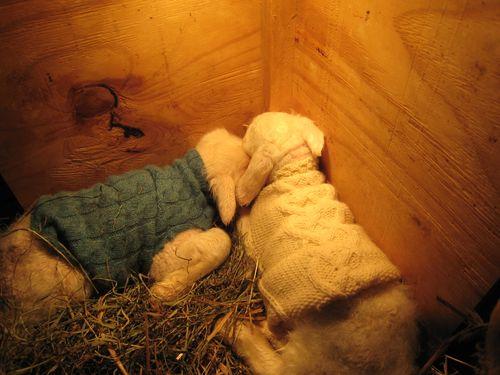 Lambs in pretty sweaters