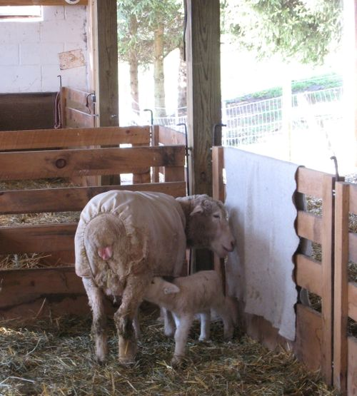 Mystics lamb nursing