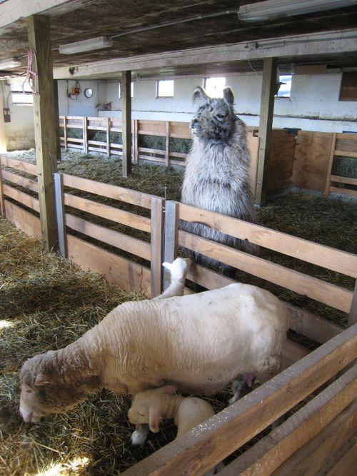 Crackerjack, w: aberdeen & lambs