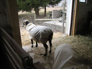 Ewe in doorway