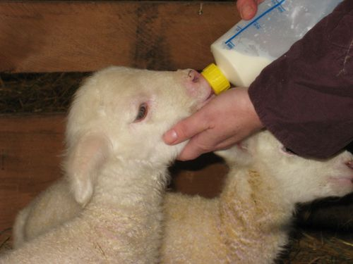 Mystic's bottle lamb