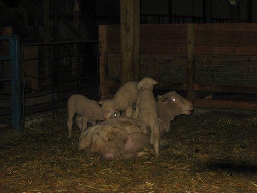 Lambs climbing on ewe