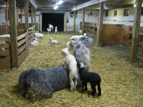 IMG_2921 lambs climb llama