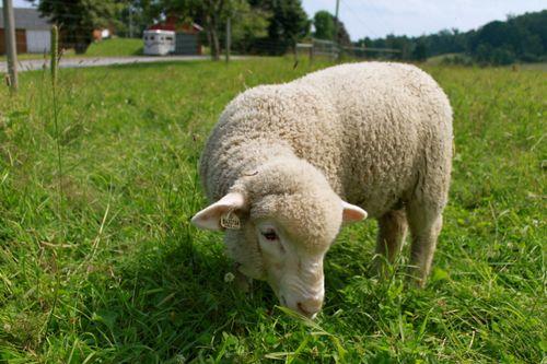 Cormo lamb pastureIMG_0116