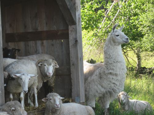 Llama.sheepshed