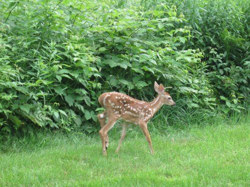 Little deer walkingIMG_3418