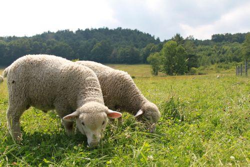 Cormo lambs pastureIMG_0126