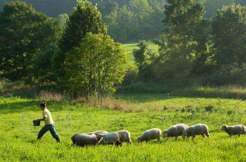 Hollybringing sheephome