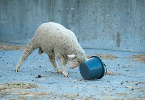 Ram attacks bucket