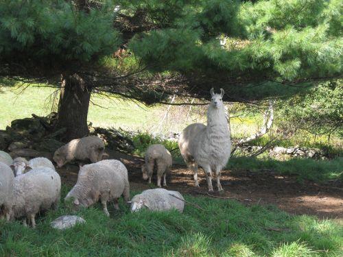 Caitlyn sheepIMG_3631