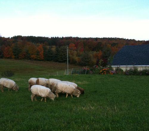 Ewe lambs fall garden