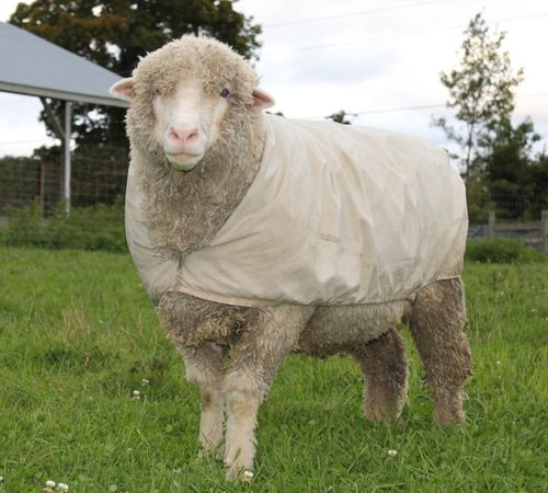 Cody.Cormo.SheepIMG_0959