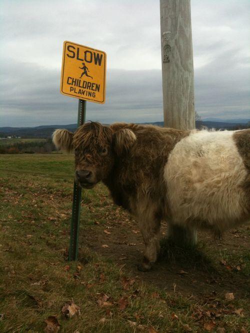 Beltie bull