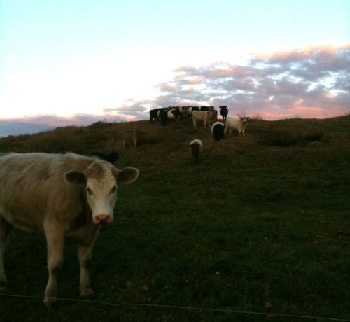 Cows at twilight