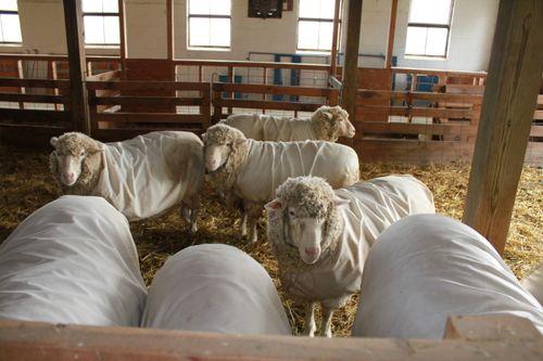 Ewes in birthing barn