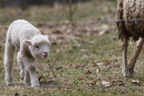Lamb III