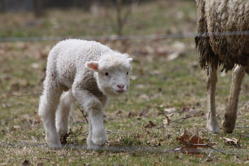 Lamb IV
