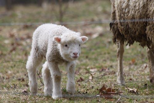 Lamb V