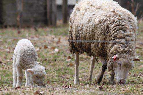 Lamb. I
