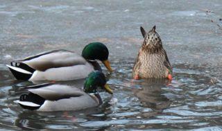 Plucky ducks