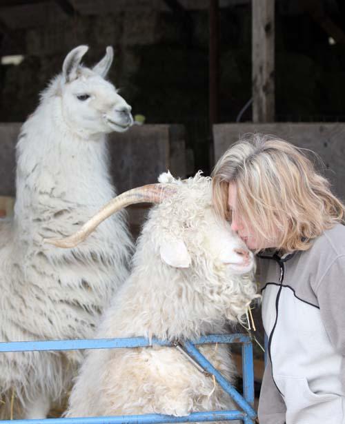 Goat kiss 3