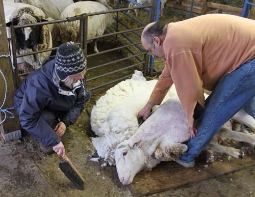 Shearing savory