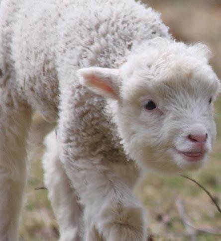 Little lamb I