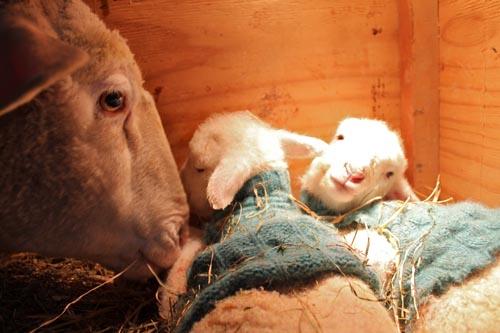 Kodiak & lambs