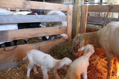 First lambs II